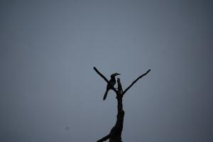 Hornbill  lookout, Alf Oldman, Kinabatangan River, 17-02-13
