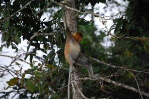 Proboscis Monkey workout, Alf Oldman, Kinabatangan River, 17-02-13