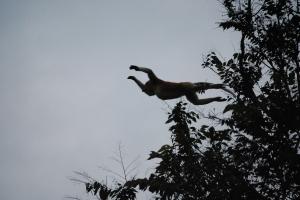 Oranutang in flight,Alf Oldman, Kinabatangan River, 17-02-13