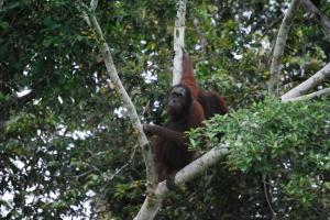 Oranutang worrying? Alf Oldman, Kinabatangan River, 17-02-13