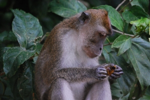 Longtail Monkey snacking,  Alf Oldman, Kinabatangan River, 17-02-13