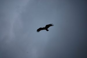 Bird of Prey,  Alf Oldman, Kinabatangan River, 17-02-13