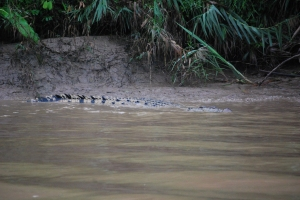 Crocodile away,  Alf Oldman, Kinabatangan River, 17-02-13