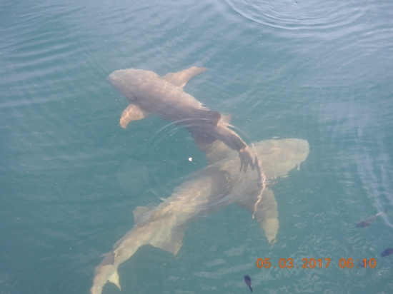 Nurse Sharks - Moorea French Polynesia